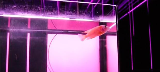 Experimentando la música electrónica con un pez en un acuario